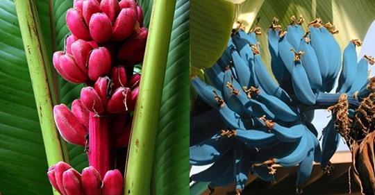 Топ 10: Самые редкие и необычные виды бананов