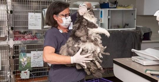 Зоозащитники спасли лохматое меховое чудище. Состригли килограмм шерсти, а под ним очаровательная кошка!