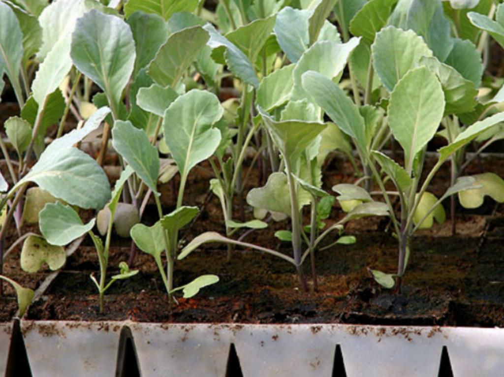 Раньше не могла получить крепкую рассаду цветной капусты. Оказалось, нужно просто проращивать семена