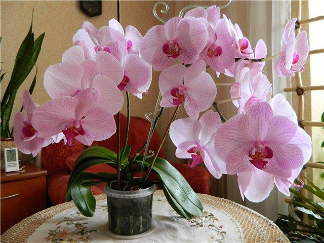 Простая хитрость при поливе орхидей, чтобы они были здоровыми и регулярно цвели