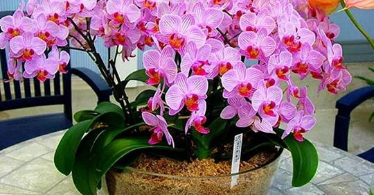 """Орхидея цветет как никогда. Целый год """"спала"""", но после подкормки начала стремительно распускаться"""