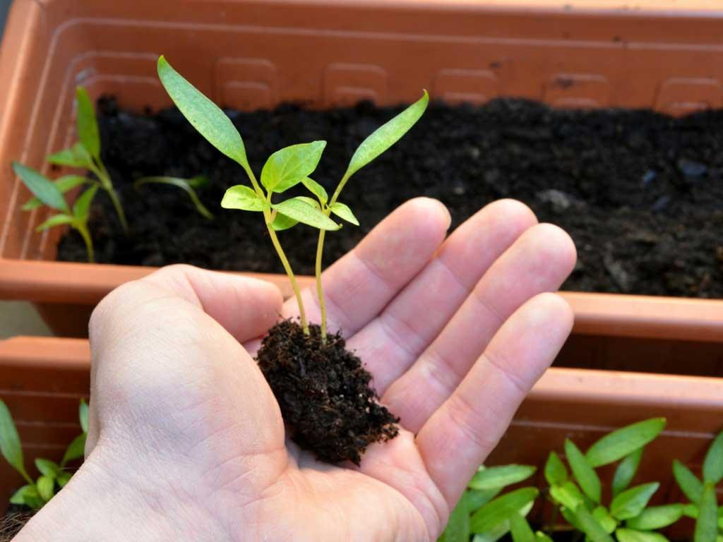 Когда сажать перец на рассаду в 2021 году: лучшие дни в зависимости от лунного цикла, региона и сорта