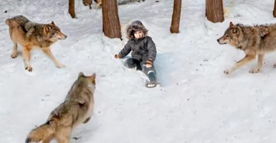 Стая голодных волков окружила мальчика, но один из них неожиданно встал на защиту ребенка