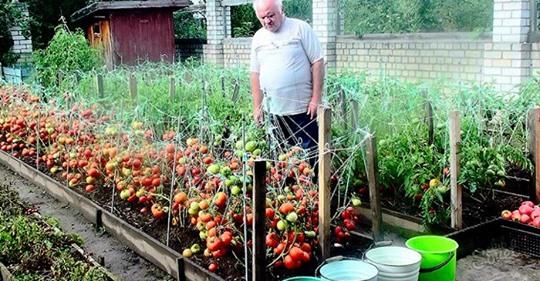 Дедовский рецепт для томатов. Никогда не подводил!