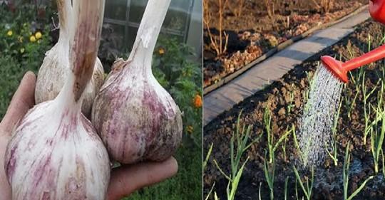 Удобрение для чеснока в период ранней весны, для того чтобы он не желтел, а луковицы были размером с кулак