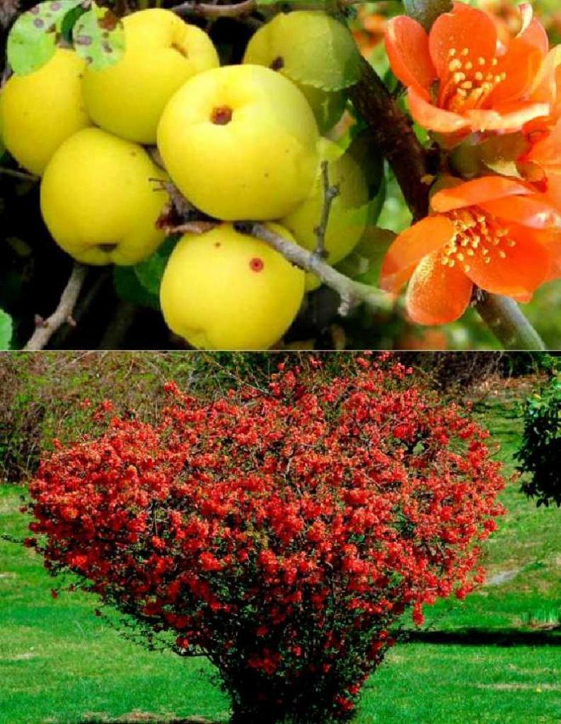 Изящное и одновременно неприхотливое растение: почему стоит посадить на своем участке японскую айву хеномелес