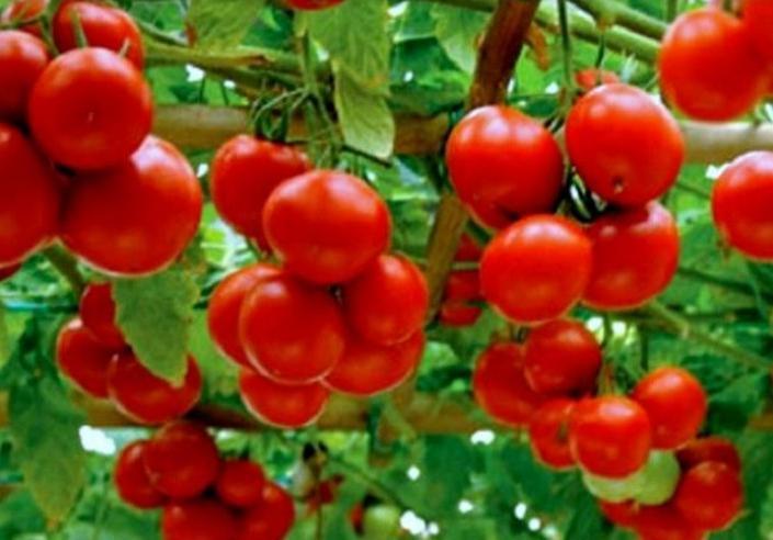 Как получить урожай томатов в июне и самые популярные ранние сорта