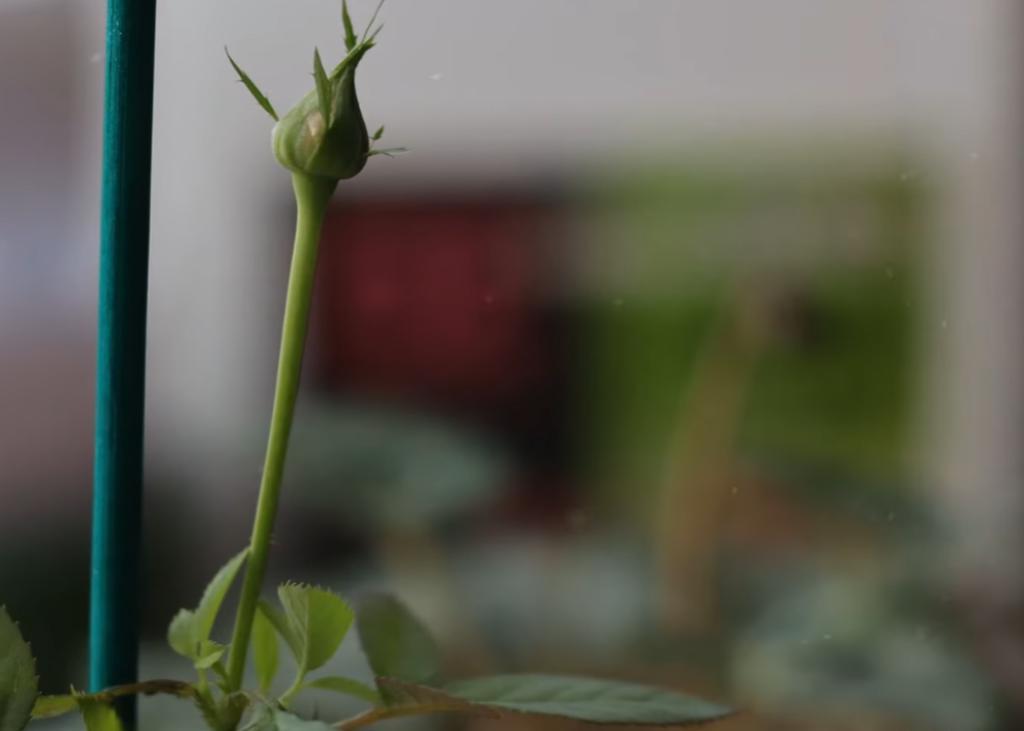 Элементарный рецепт бродиловки: растения цветут пышным ковром даже на подоконнике