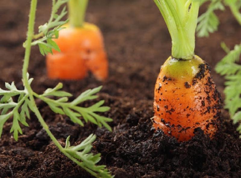 Как получить богатый урожай моркови: некоторые хитрости