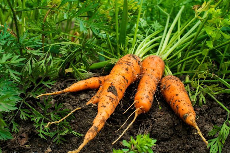 Минимум ухода и без прореживания: простой способ высадки моркови