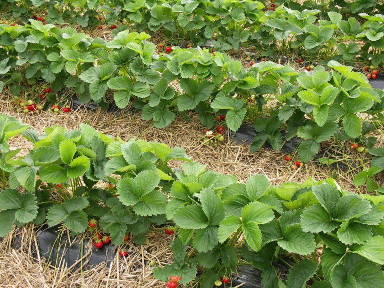 Что нужно сделать в марте с клубникой, чтобы в июне собрать богатый урожай