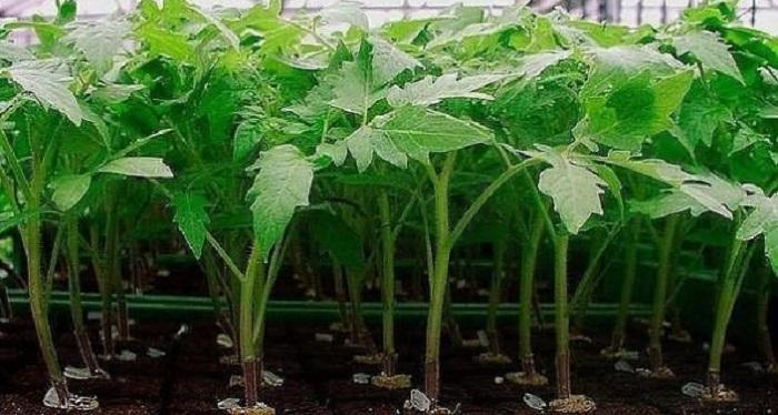 От качества рассады зависит количество урожая: чем подкормить перец и томаты для роста и крепкого стебля