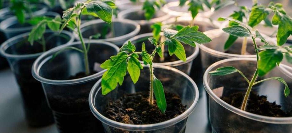 Хотите заняться выращиванием помидор? Что следует знать начинающему дачнику