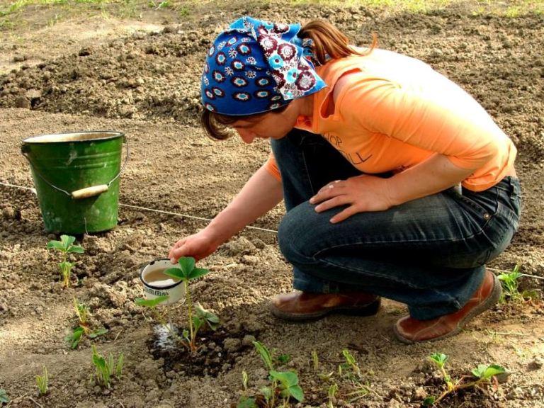 Щедрый урожай клубники: что сделать весной, чтобы летом собрать сочные плоды