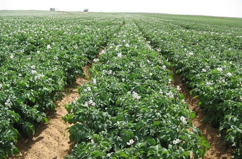 Свекла, морковь и не только: овощи и зелень, которые хорошо растут на почве после картофеля