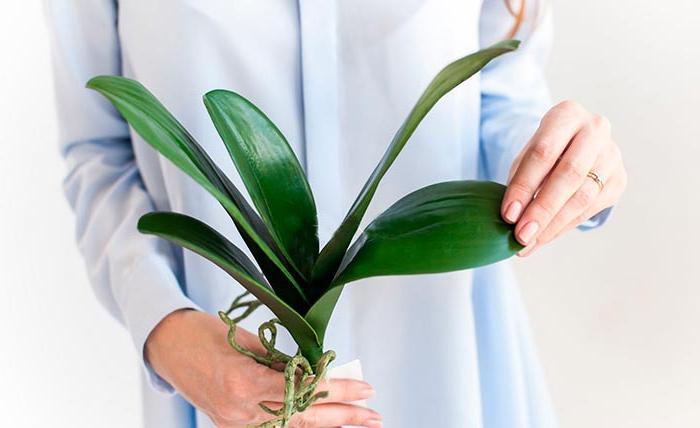 Из какого листа можно вырастить орхидею: главные правила
