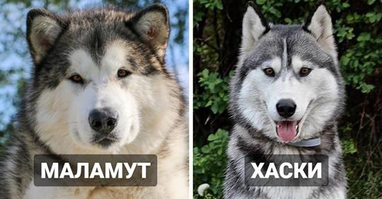 18 пород собак, которые так похожи друг на друга, что спутать их проще простого