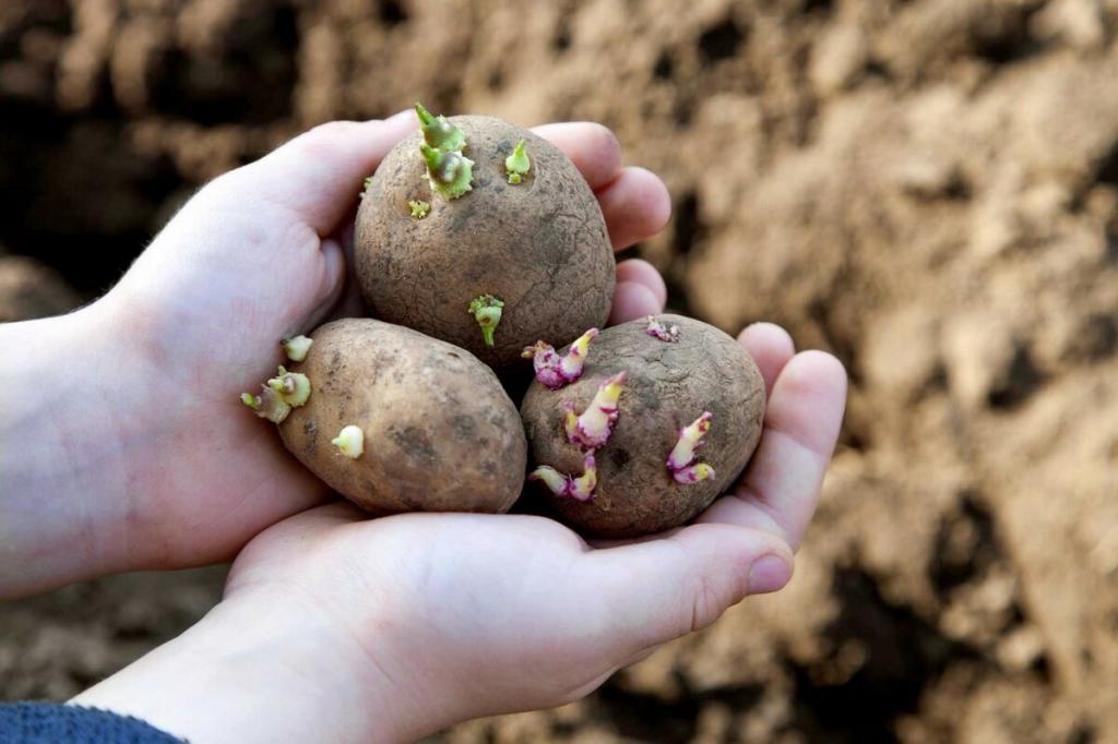 Время картошки. Какую лучше взять для посадки: крупную, мелкую или вообще очистки (что из чего потом вырастет)
