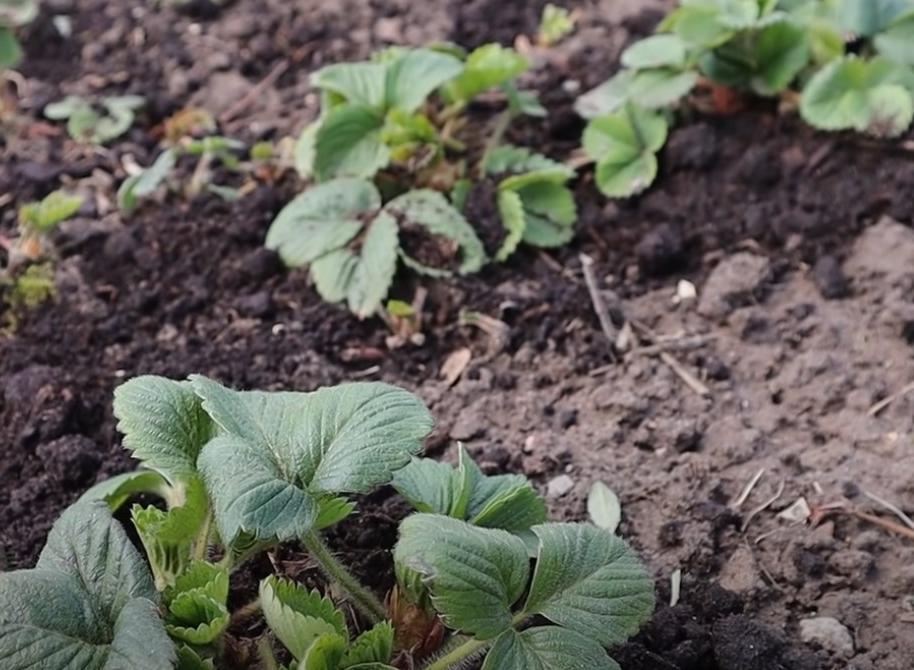 Ягоды будут крупными и сладкими: в апреле-мае подкармливаем клубнику раствором йода (состав)