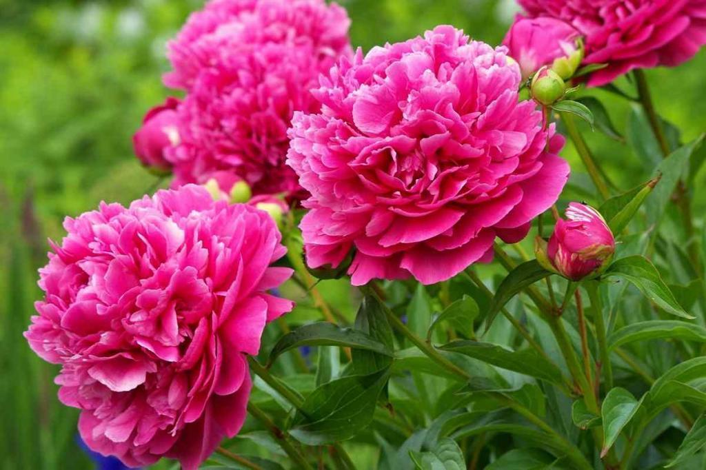 Чем подкормить пионы весной, чтобы они радовали обильным цветением