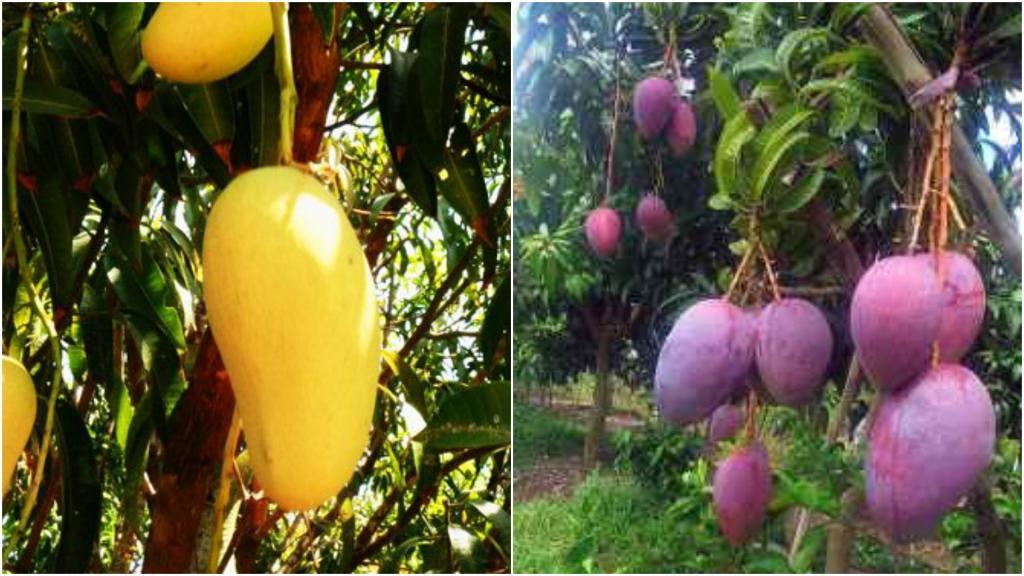 Селекционер самоучка вырастил дерево, на котором вызревает сразу 300 сортов манго