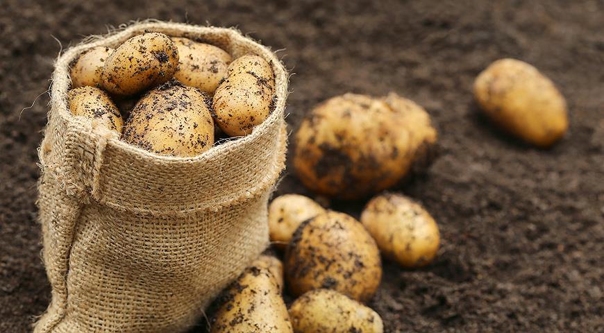 Как по березе определить время посадки картофеля, и другие приметы