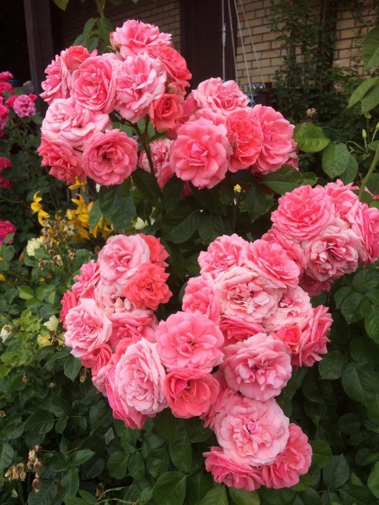 Сода и мыло: чем опрыскать розы, чтобы они цвели пышно и не болели