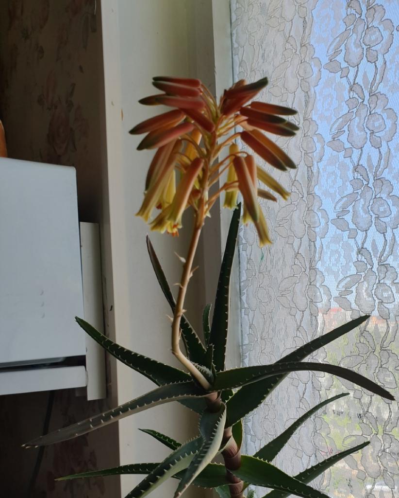Алоэ у многих живет на подоконнике, но как растение цветет, видели единицы, а это очень красиво (фото)