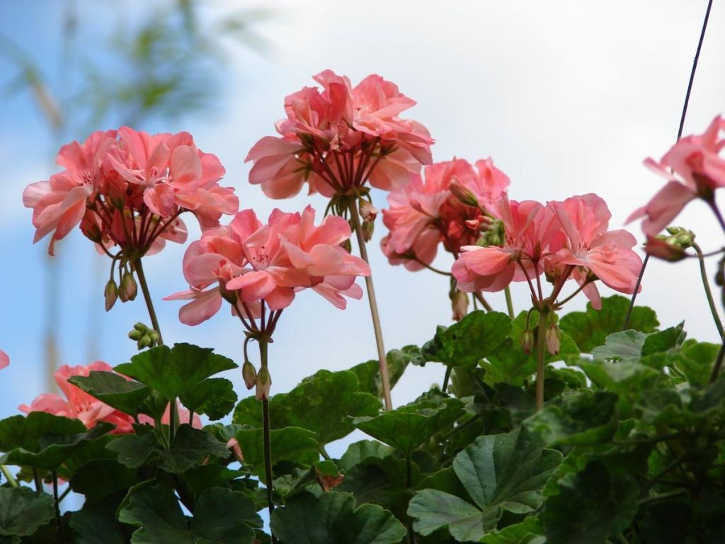 Как заставить герань пышно цвести? Удобряю растение касторовым маслом
