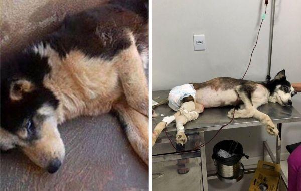 Хаски использовали для разведения щенков до тех пор, пока она не перестала ходить, но её вовремя спасли