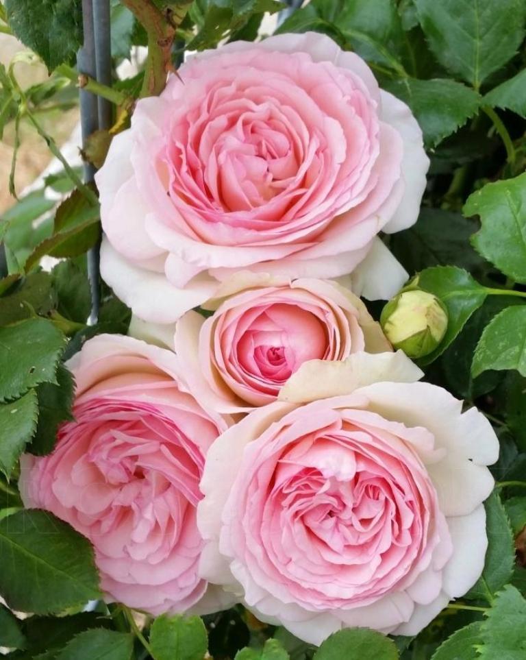 Всего несколько движений ножницами - и роза порадует пышными бутонами: хитрость