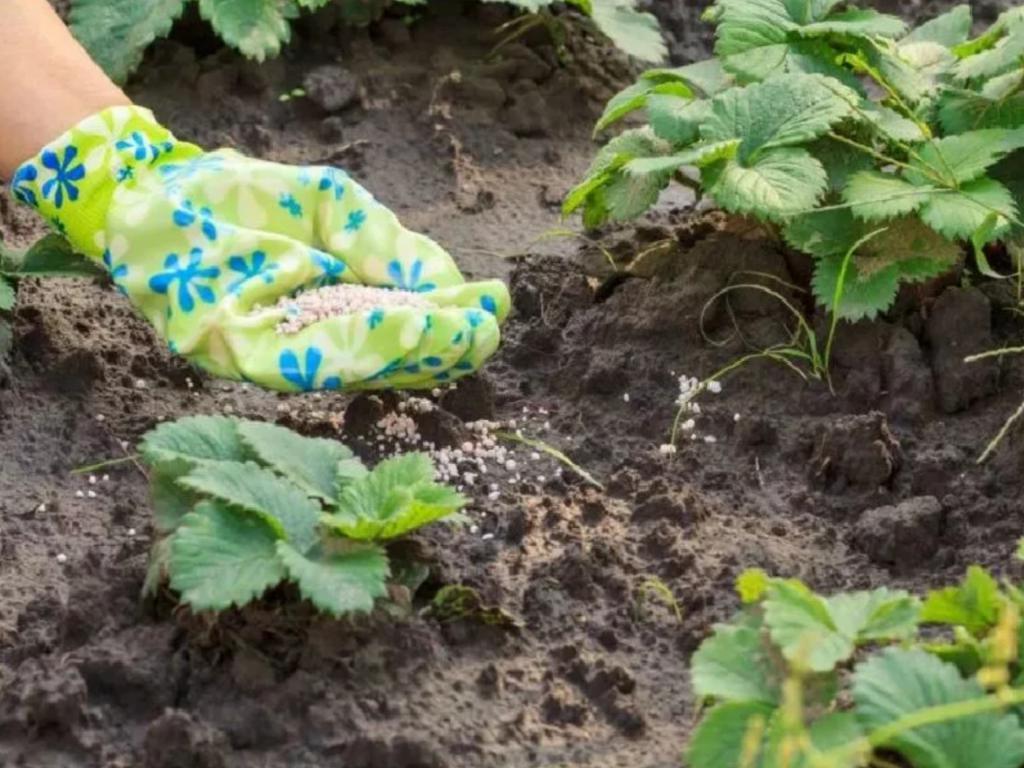 В мае стоит подкормить клубнику куриным пометом. Через 3 дня будет виден результат