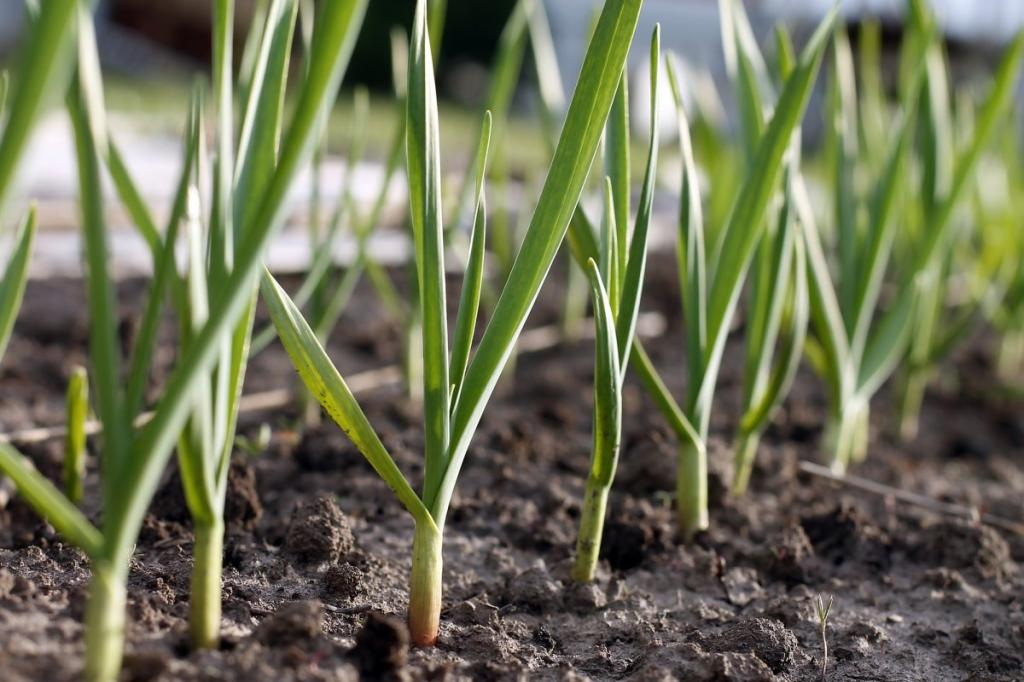 Зачем огородники перед сбором чеснока завязывают ботву в узел (когда собирать чеснок и как правильно его хранить)
