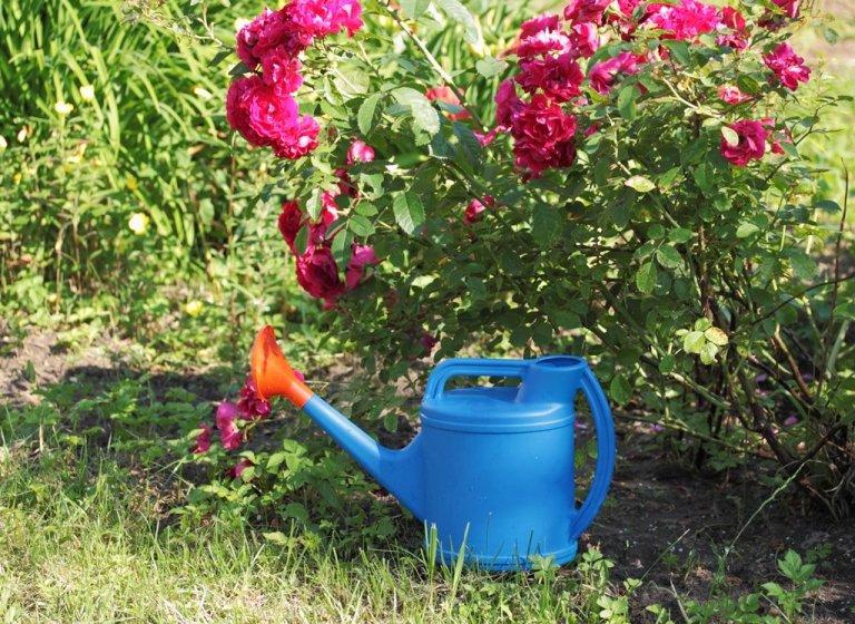 Цветущий рай на вашей даче: как правильно поливать розы летом