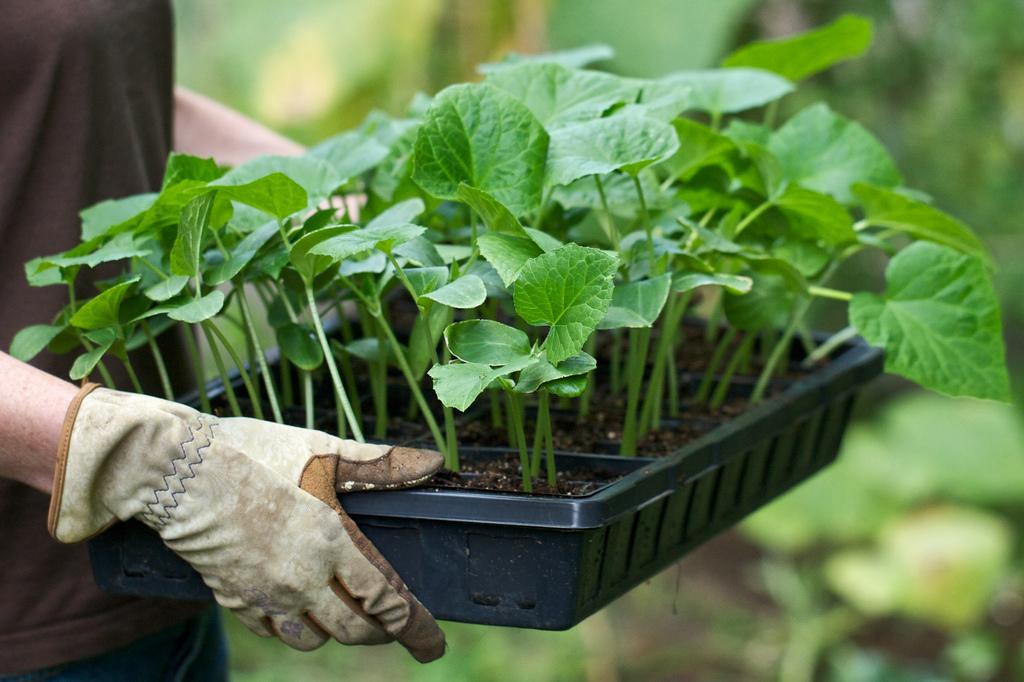 Хитрость, которая позволит собрать два урожая огурцов (сеять опять не нужно)