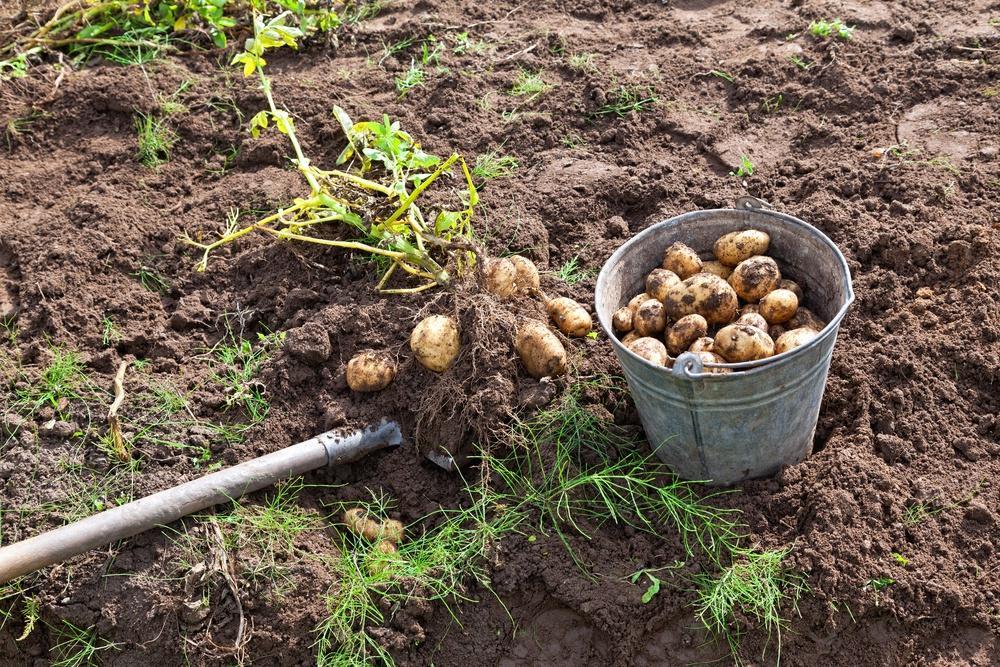 Не сажать больше двух лет подряд. Что делать с почвой после уборки картофеля