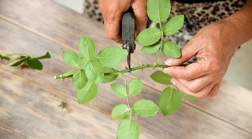 Как укоренять черенки роз при помощи витамина С: простой процесс