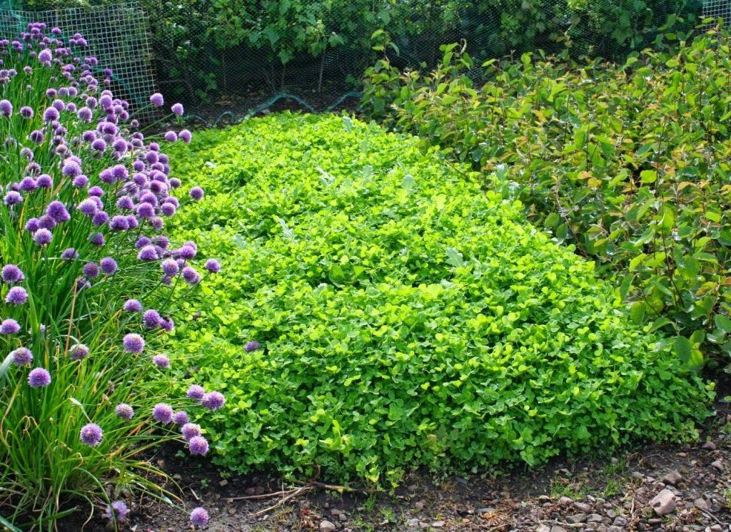 Какие сидераты нужно посадить на огороде после сбора чеснока и лука, чтобы на следующий год урожай был богатым