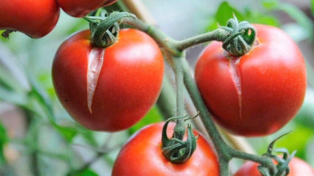 Что делать, если томаты начали трескаться. Ищем причину и решение