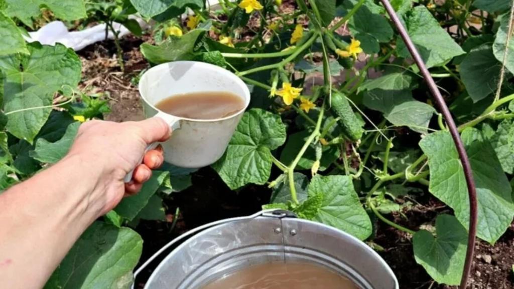 В августе не стоит забывать об огурцах. Чем подкормить растения в конце лета