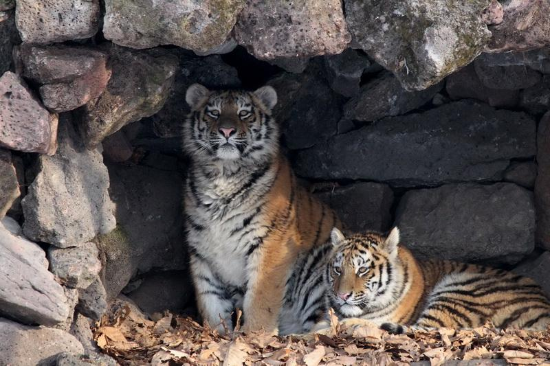 У нас всего 5 бенгальских и 500 амурских: где и как увидеть тигров в России и в ближайших странах