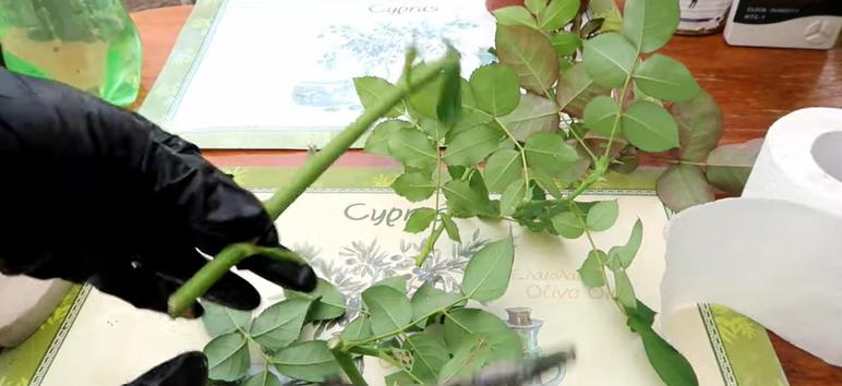 Простой способ укоренить розу: понадобится рулон бумаги