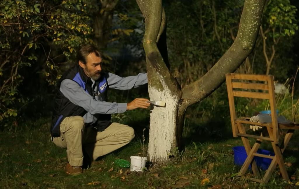 Многие упускают важный этап при побелке деревьев осенью: о чем нужно помнить