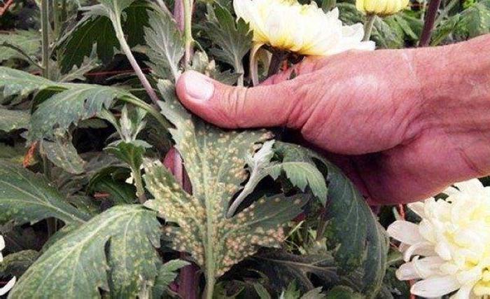 Уход за хризантемой осенью: что нужно сделать, чтобы зима для растения была комфортной