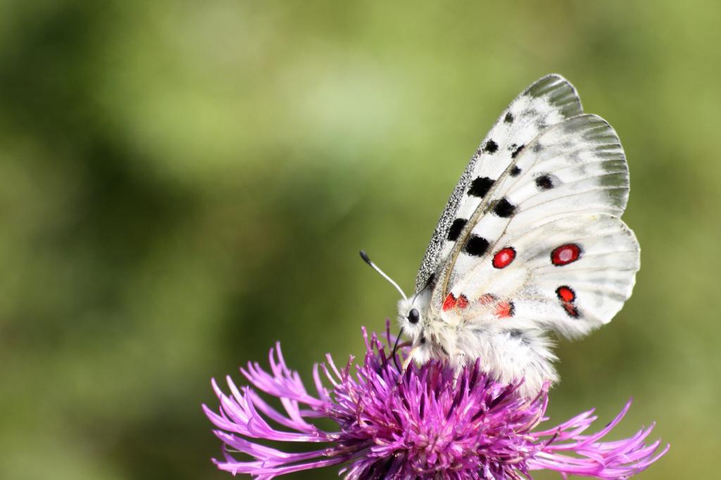 Бабочка аполлон обыкновенный как сохранить исчезающую красоту