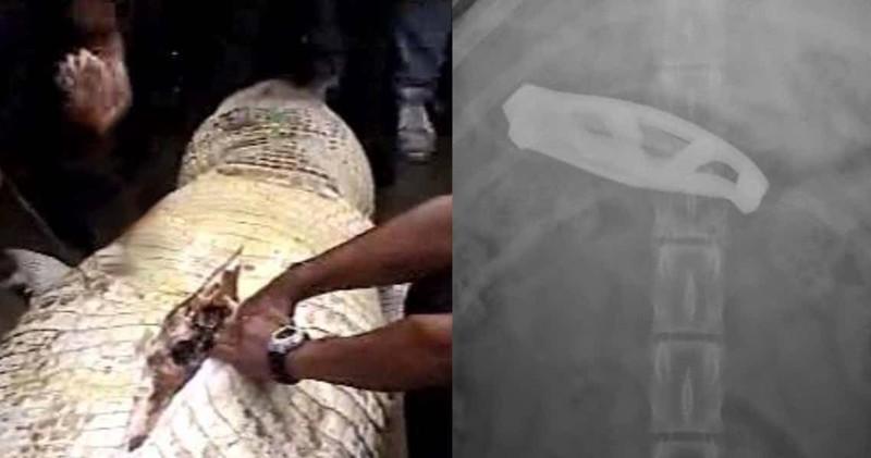 15удивительных находок, обнаруженных вжелудках животных