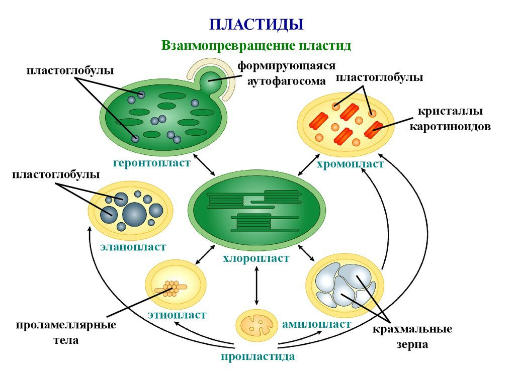 plastids Plastids are common organelles in plant cells plastids are bound by two plasma membranes and can have other internal membranes plastids also have their own dna and it is circular like the dna of bacteria/prokaryotes.