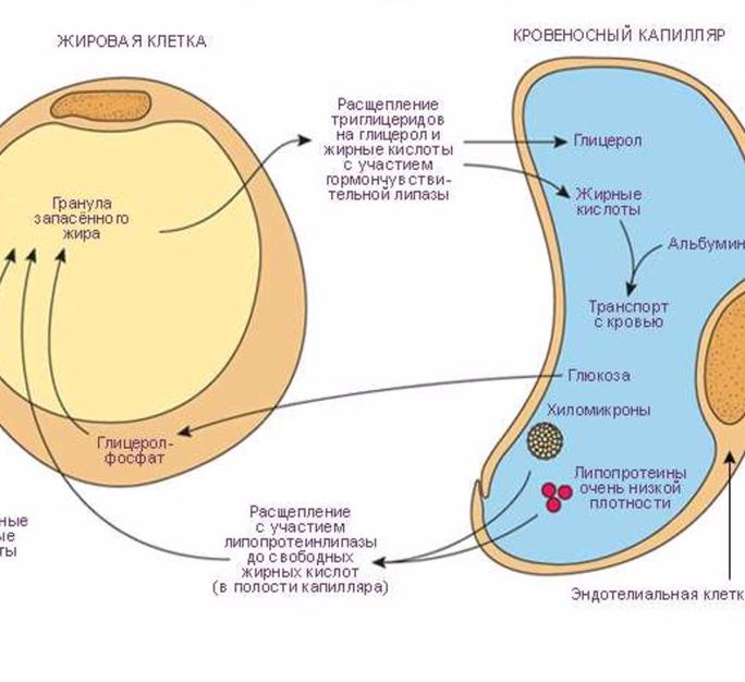 Липопротеинлипаза: Как работает обмен веществ