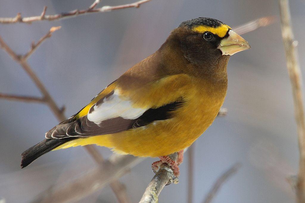 Птица дубонос обыкновенный: описание, образ жизни, ареал обитания и интересные факты