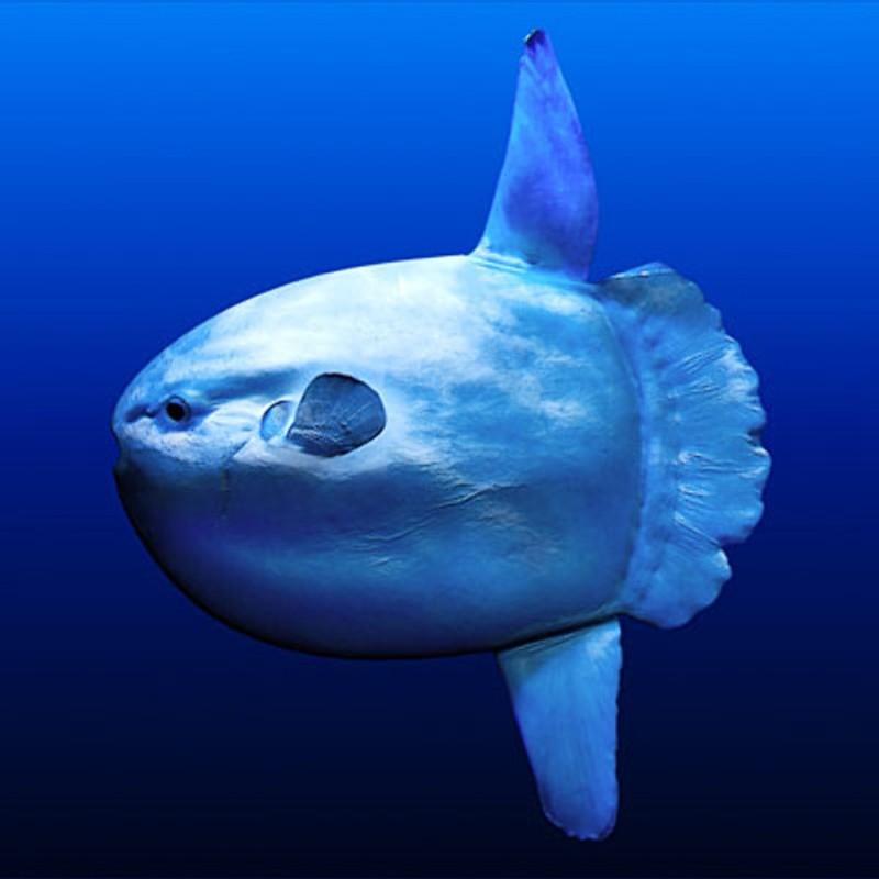 Луна-рыба – самая крупная изкостистых рыб